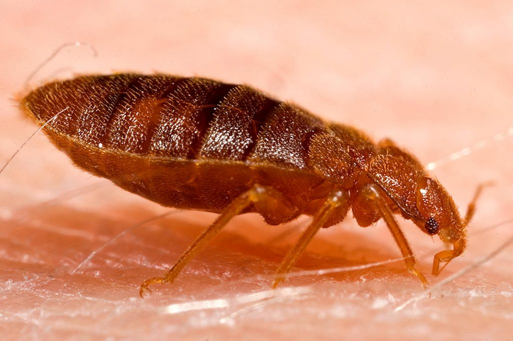 Can Bed Bugs Bite Dogs